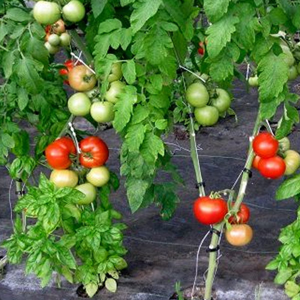 Semillas para tarjetas de visita de tomate