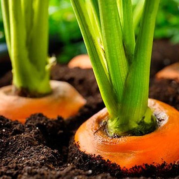 Semillas para tarjetas de visita de zanahoria